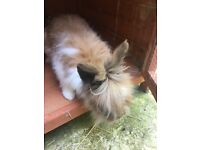 Lionhead rabbit, cage & all accessorises and food