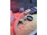 Bearded dragon 2yrs old with vivarium