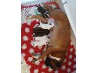 Beautiful KC registered boxer pups