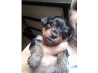Small Yorkshire terrier puppy girl