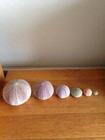 Reduced Sea urchin shells