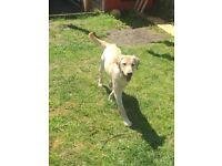 7 month old full pedigree kc registered golden Labrador puppy