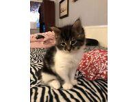 Gorgeous female kitten