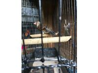 Canary Mule for sale