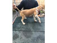 Saluki pups for sale Lucas x Meg 3 left
