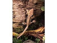 Crested geckos(07871802542)