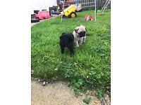 Black Dog Pug Puppy For Sale