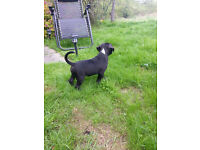 Staffordshire Bull Terrier Puppy( ready to leave)