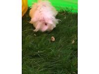Long Hair White Guinea Pig male for sale