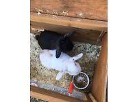 2 pet rabbits ,male white mini lop neutred ,female mini lion lop black