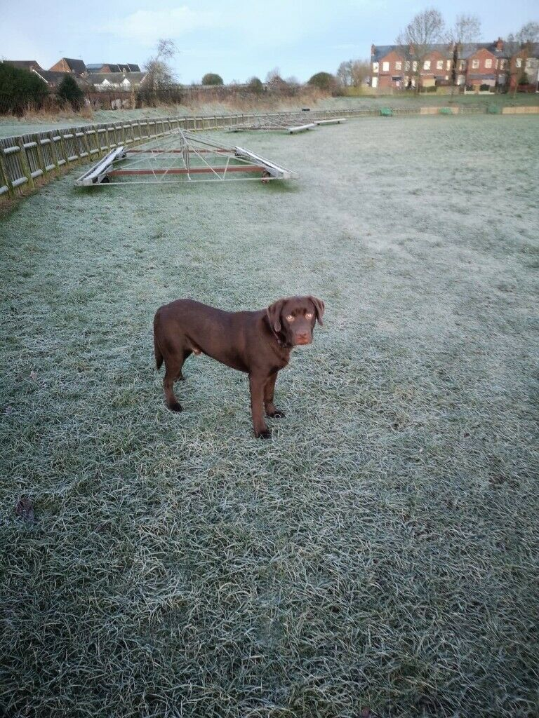 9 Month Old Male Chocolate Labrador | in Mansfield, Nottinghamshire |  Gumtree