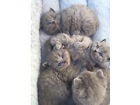 Gorgeous British Blue Shorthair kittens