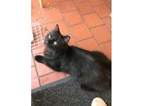 Found black young cat