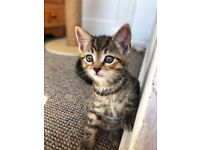 Cute tabby kittens are looking for their home