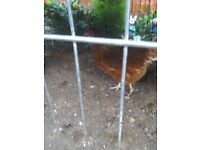 For sale 2 chickens