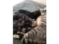Black kittens for sale.