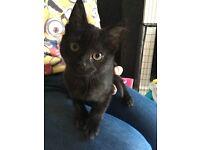 10week black kitten