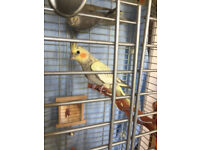 cockatiels for sale £35 each