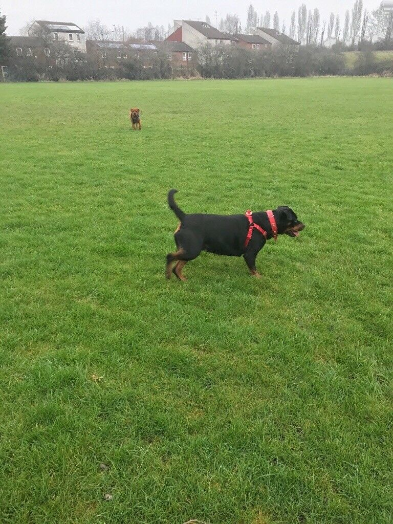3 yr old Rottweiler £150