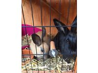 2 Mini Rex/Rex Conti Female Rabbits