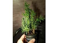 YEW-TAXUS Buccata Bonsai Starter Trees (Selection to choose from!)