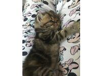 Last 2 pure exotic shorthair kittens