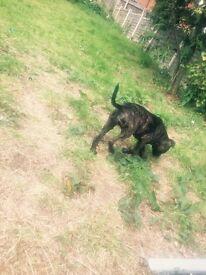 female 12week old pug cross staffy puppy