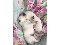 **SOLD** Beautiful Pedigree Golden Labrador Puppies