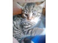 Female grey stripe bengal tabby cross kitten 8 weeks old