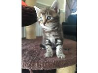 Maine Coon Cross Kittens