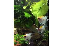 Angel fish - around 12 for sale