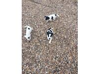 Cocka-jack puppies for sale