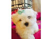 KC registered stunning maltese puppy