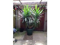Large and Beautiful Plant - Yucca Elephantipes