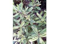 GARDEN PLANT SALE.....various shrubs, treess, native hedging