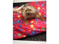 Beautiful Yorkshire terrier puppy for sale