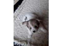 Pomchon puppies for sale