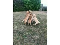 Labrador redfox/yellow puppies