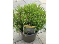 Gypsophila muralis perennial Plant Size: 23-25 cm (Incl. Pot)