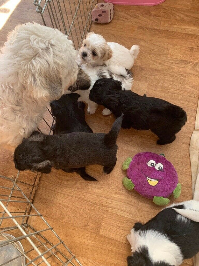 Shihtzu X Bichon Frise Puppies for Sale | in Plymouth, Devon | Gumtree