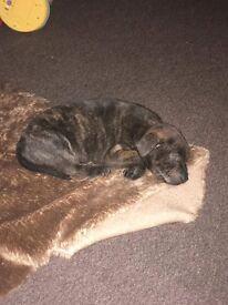 Staffy cross Rottweiler