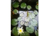 FREE! 4 goldfish (plus water lily plants)
