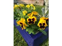 Royal blue planter with yellow plants