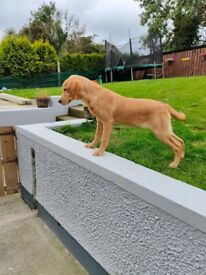 5 month old fox red Labrador bitch for sale