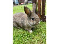 Dwarf x lop rabbits