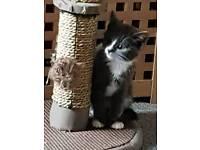 Cute 'Grey & White' Female Kitten READY