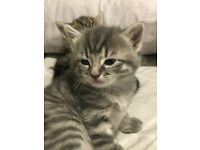Gorgeous Silver Tabby