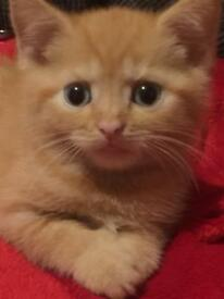 British shorthair kittens 2 Beautiful boys ready now £235
