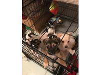 Chihuahua x pug x Jackrussel