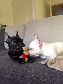 Adorable French Bulldog puppies only 2 boys left